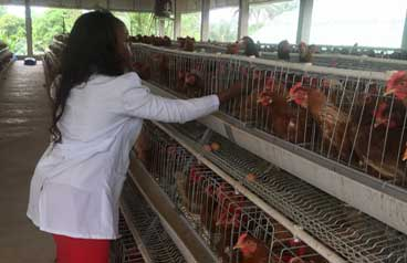What is hear stress in poultry farm  Solution and management